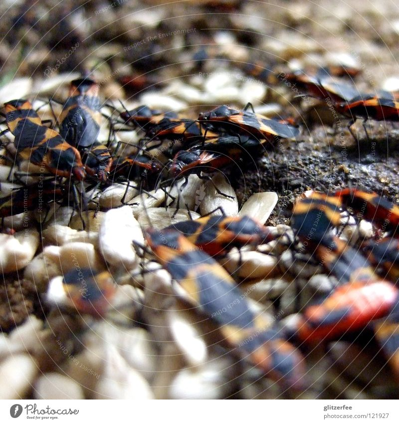 fire bug party Firebug Bow Insect Nutrition To feed Accumulation Sunflower seed Propagation Park Animal Herbivore Beetle Food Floor covering Garden Nature