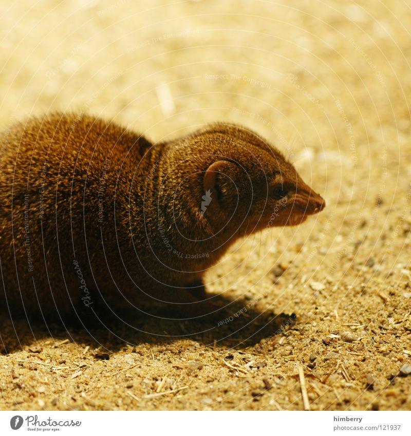 Animal Sand Desert Pelt Zoo Hunting Watchfulness Mammal Hunter Rodent