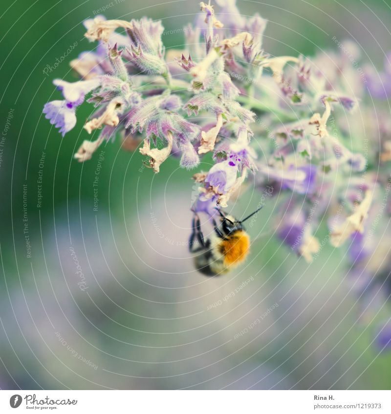 Summer Flower Animal Blossom Eating Authentic Blossoming Insect Hang Faded Bumble bee