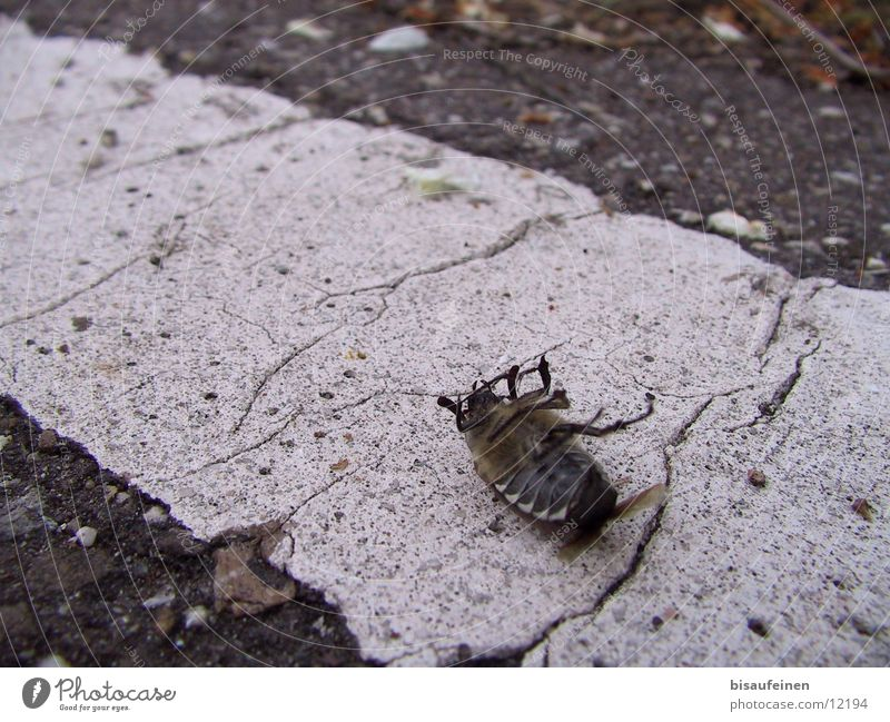Street Death Insect Poison Beetle May Bow Pests May bug