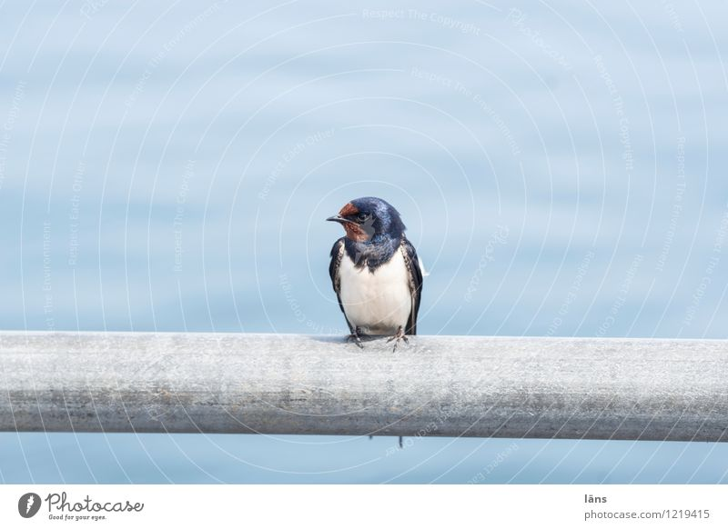 Water Bird Sit Vantage point Maritime Swallow