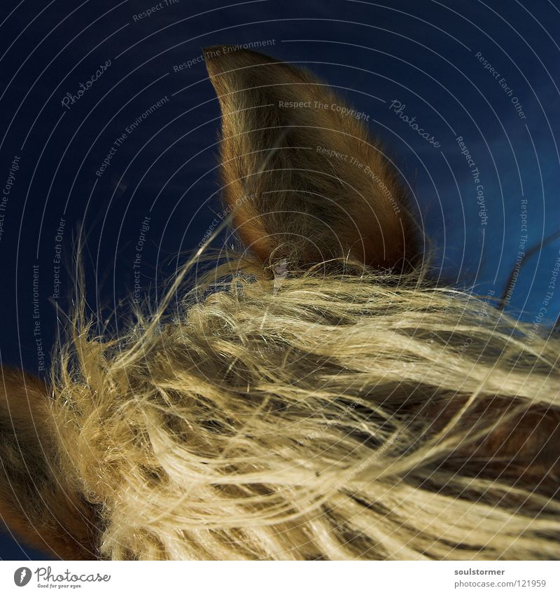What a mane! Horse Animal Mammal Cowboy Mane Blonde Brown Gray White Ear Hair and hairstyles Above Sky Blue
