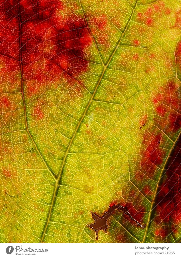 pitted Vessel Arteries Membrane Photosynthesis Autumn Leaf Yellow Green Red Vine Wine growing Consumed Exchange Seasons Autumn leaves Autumnal colours