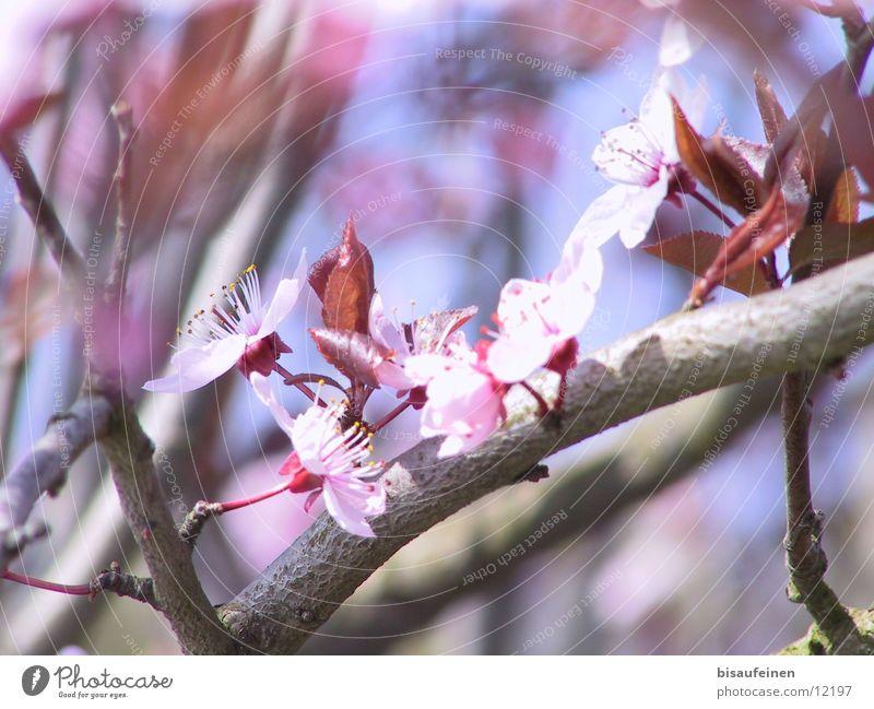 spring Blossom Cherry Tree bark Pink Spring Twig Branch