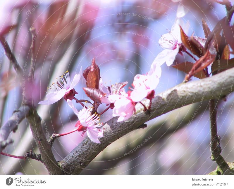 Tree Blossom Spring Pink Branch Twig Cherry Tree bark