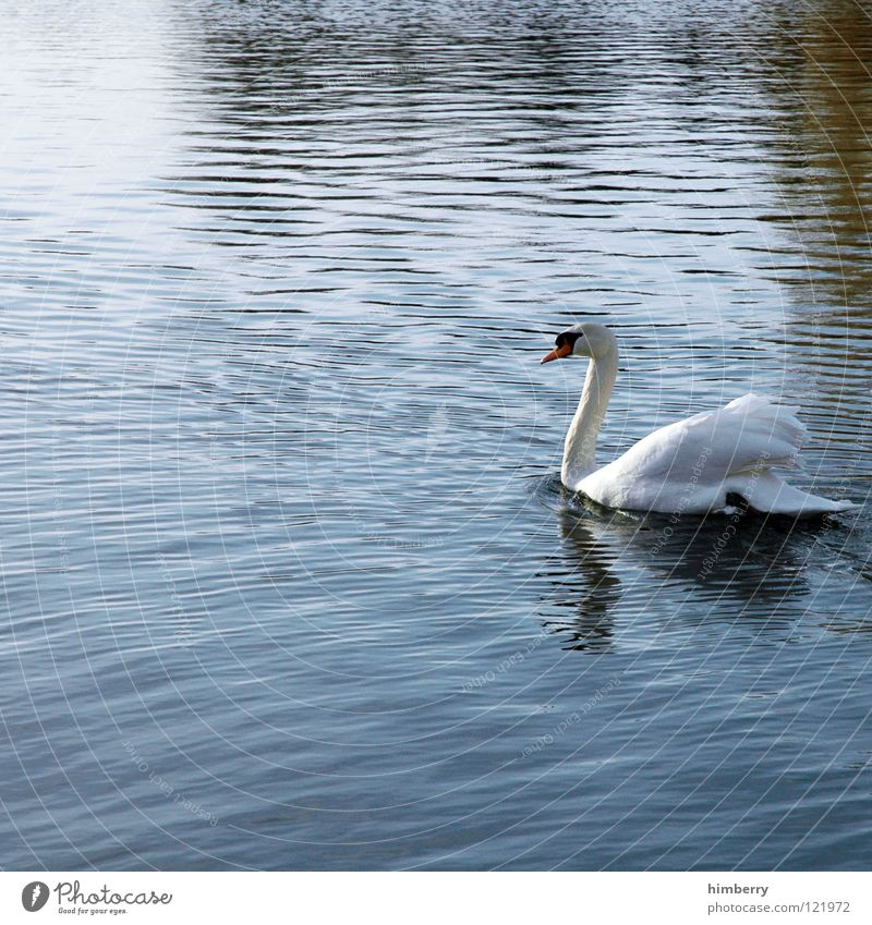 Nature Water Animal Lake Bird Park Swimming & Bathing Feather Wing Float in the water Swan Swan Lake