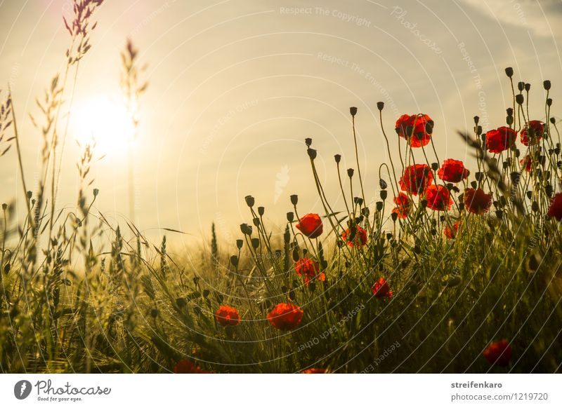 early moHrgeS Nature Plant Sun Sunrise Sunset Sunlight Summer Beautiful weather Flower Agricultural crop Poppy Grain Field Blossoming Emotions Happy