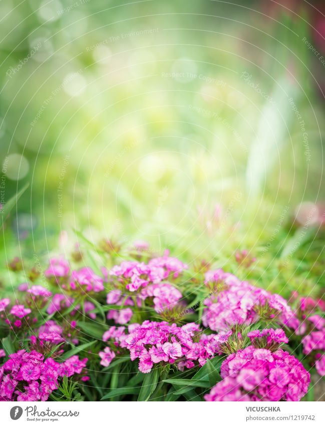 Pink bearded carnations in the garden Style Design Summer Garden Nature Plant Spring Autumn Beautiful weather Flower Leaf Blossom Park Background picture