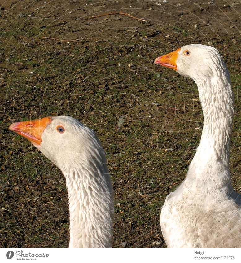 Green White Animal Meadow 2 Bird Brown Orange Field Pair of animals Feather In pairs Point Soft Curiosity Agriculture