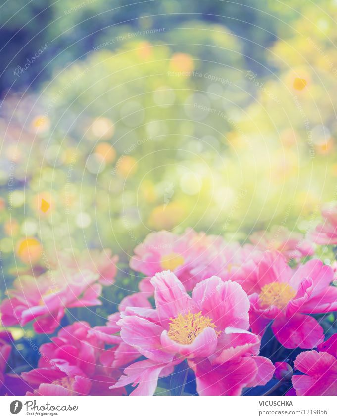 Peonies in the garden Elegant Design Summer Nature Plant Spring Beautiful weather Flower Rose Leaf Blossom Garden Park Bouquet Love Yellow Pink Style