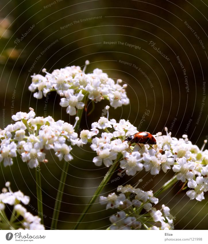 Nature White Summer Blossom Spring Warmth Small Insect Physics Ladybird Good luck charm
