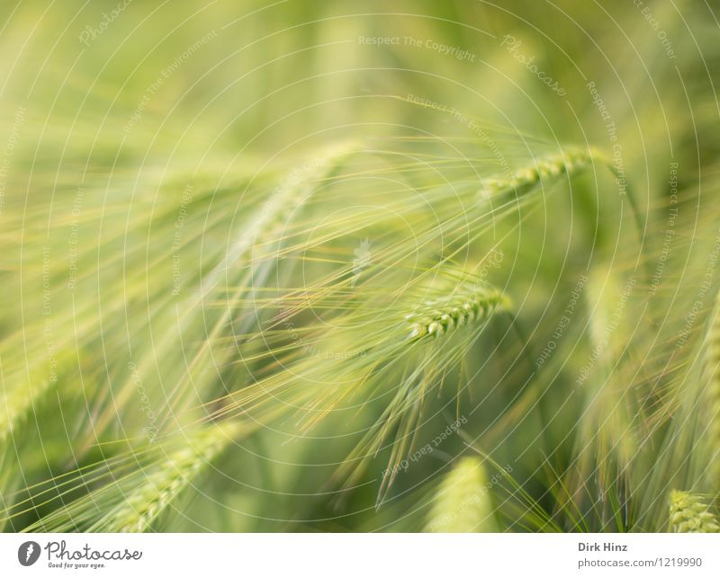 barley field Environment Nature Landscape Plant Spring Summer Agricultural crop Field Green Agriculture Agricultural product Ear of corn Grain Delicate Growth