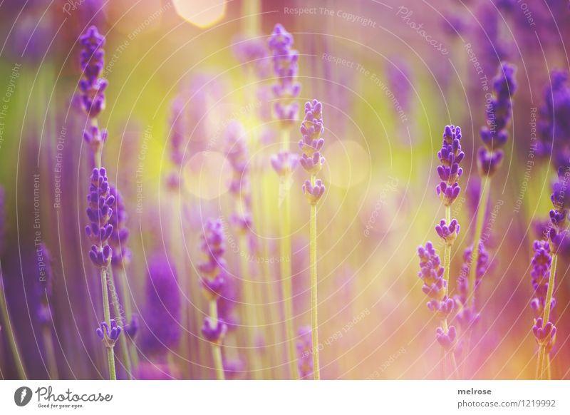 Nature Plant Green Summer Relaxation Flower Grass Natural Style Garden Glittering Dream Illuminate Elegant Gold Birthday