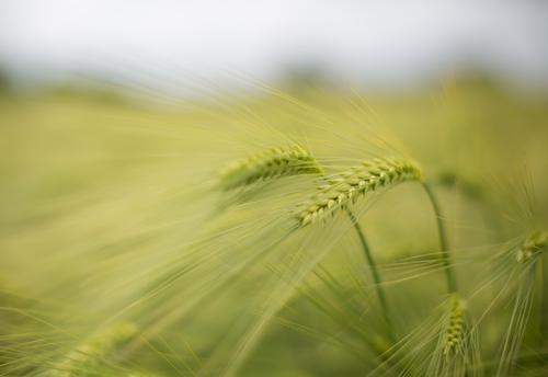Nature Plant Green Summer Landscape Environment Food Field Esthetic Nutrition Agriculture Harvest Grain Organic farming Delicate