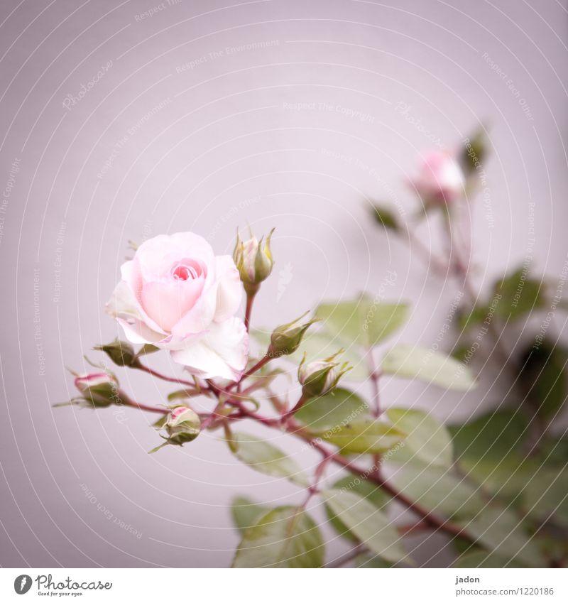 Flower salute. Fragrance Nature Plant Rose Leaf Blossom Agricultural crop Garden Esthetic Eroticism Thorny Pink Love Salutation Deserted Copy Space top