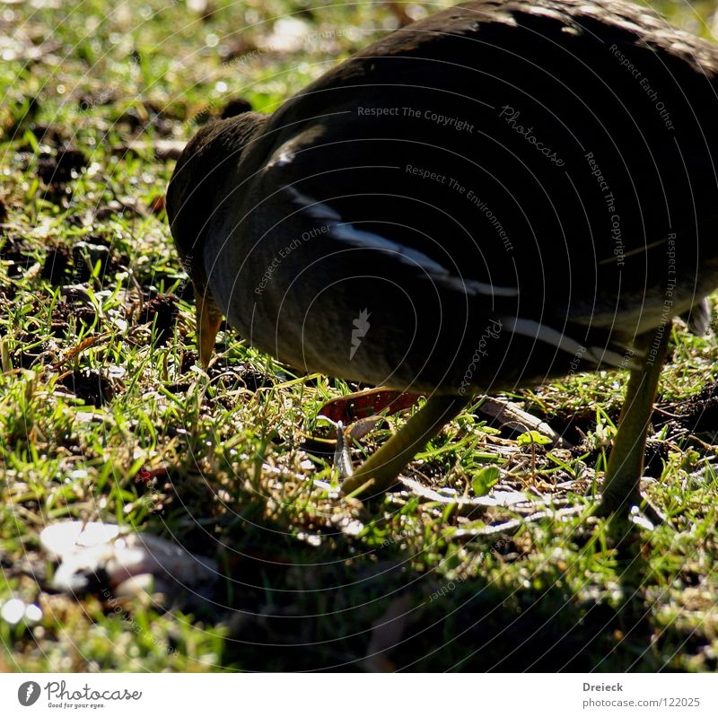 Water Rail at work Bird Goose Drake Plumed Beak Green Brown Red Yellow White Animal Meadow Grass Waddle Brook Lake Pond Dive Pond Rail Duck Feather