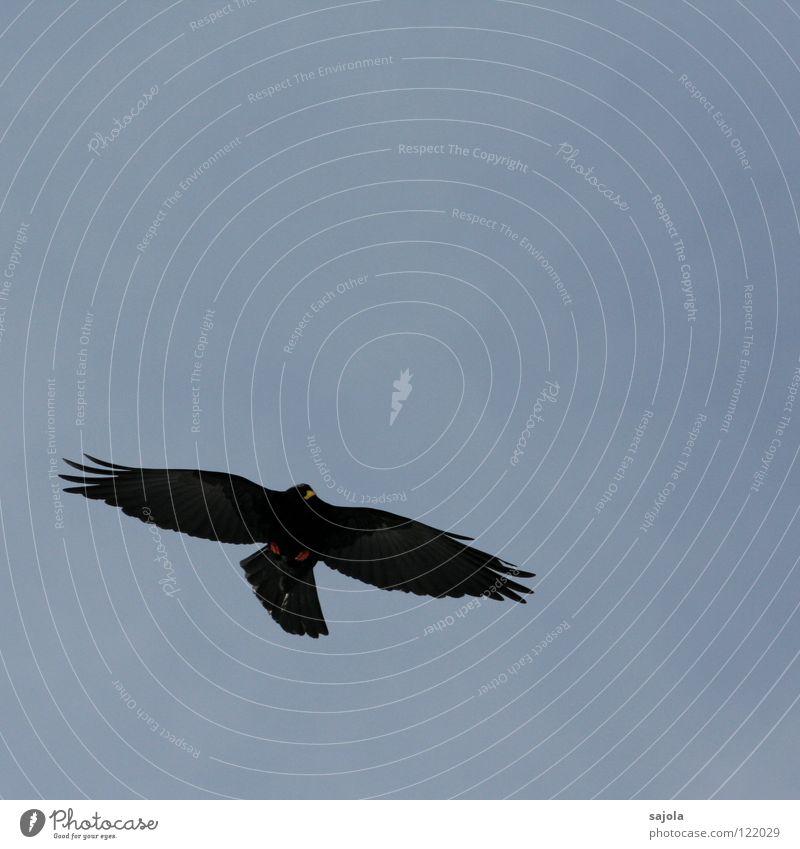 Black Animal Freedom Bird Elegant Flying Feather Wing Wild animal Mobility Beak Jackdaw