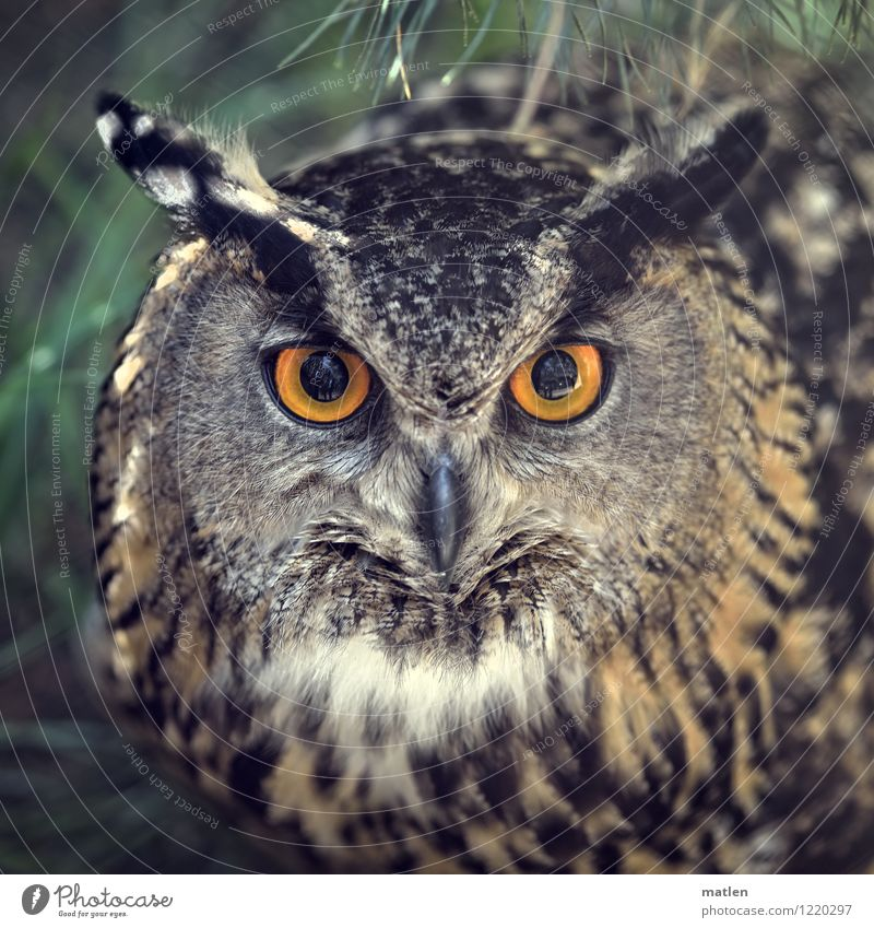 Bubo bubo Animal Bird Animal face 1 Brown Green Orange Black Eagle owl Fix Hypnotic Colour photo Exterior shot Pattern Deserted Day Contrast Reflection