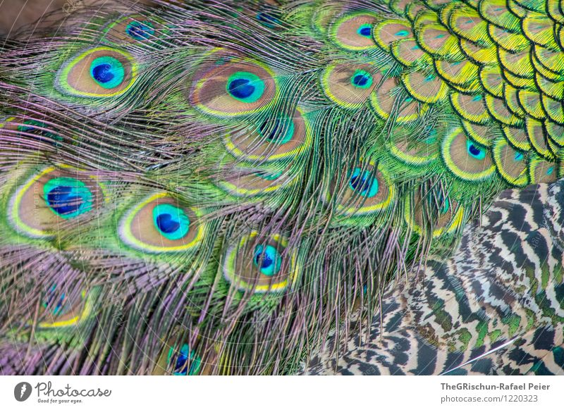 variegated Animal Blue Multicoloured Yellow Green Black Turquoise White Metal coil Beautiful Structures and shapes Pattern Peacock Peacock feather Eyes