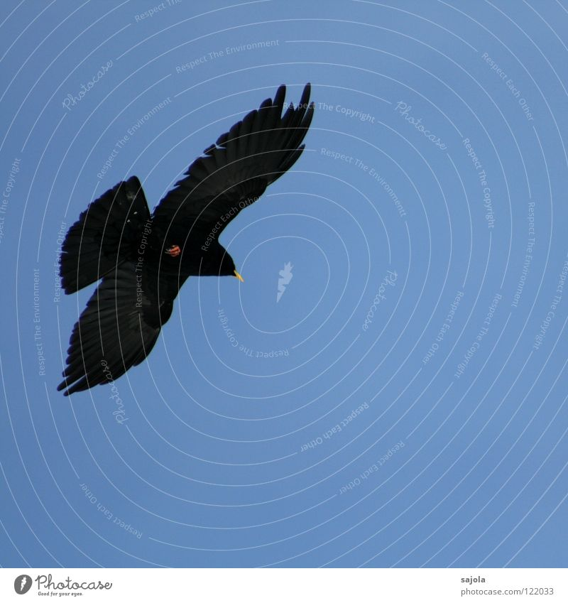 Black Animal Movement Freedom Bird Flying Free Feather Wing Switzerland Mobility Beak Jackdaw Jackdaw