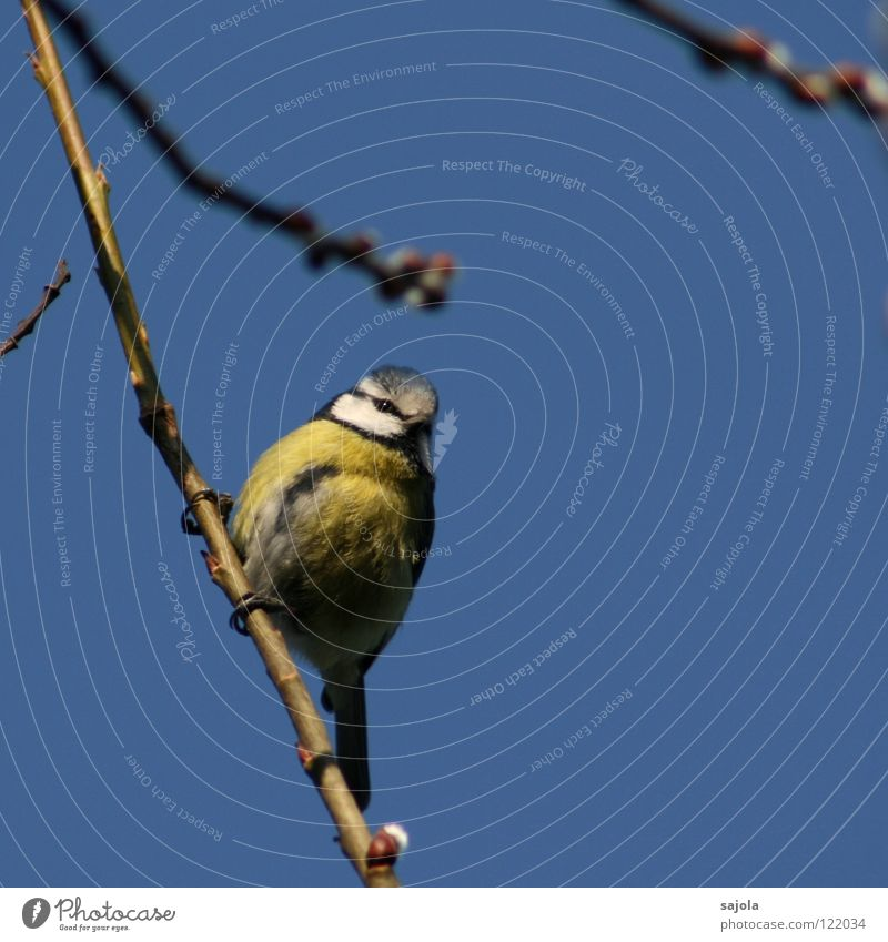 Blue Tit Animal Sky Bird Animal face Eyes 1 Observe To hold on Looking Cold Cute Yellow White Environment Tit mouse Feather Colour photo Exterior shot