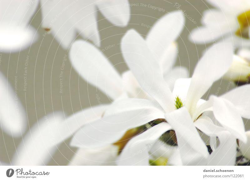 magnolias White Magnolia plants Plant Tree Monochrome Light Background picture Blossom Blossom leave Macro (Extreme close-up) Close-up Bright