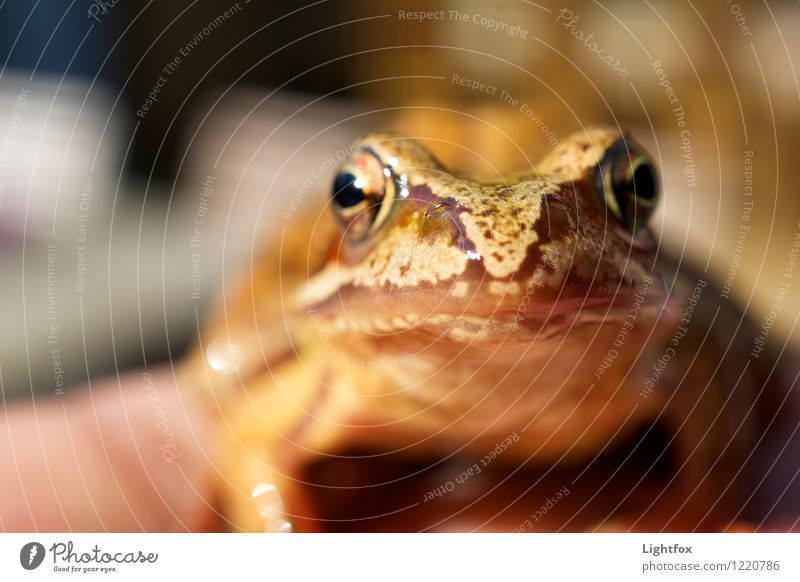 Jabba the Hood Frog 1 Animal Old Crouch Hunting Healthy Brown Worm's-eye view Frog Prince Frog spawn Jump To feed Fly Eyes Zoom effect Colour photo