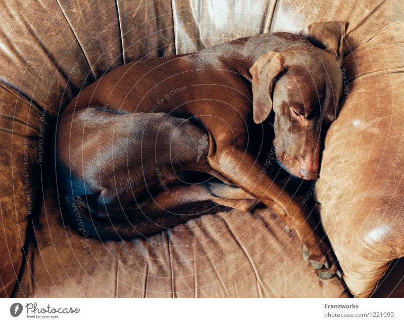 Dog Relaxation Calm Animal Happy Lie To enjoy Cute Soft Sleep Pelt Pet Safety (feeling of) Cuddly Leather Peaceful
