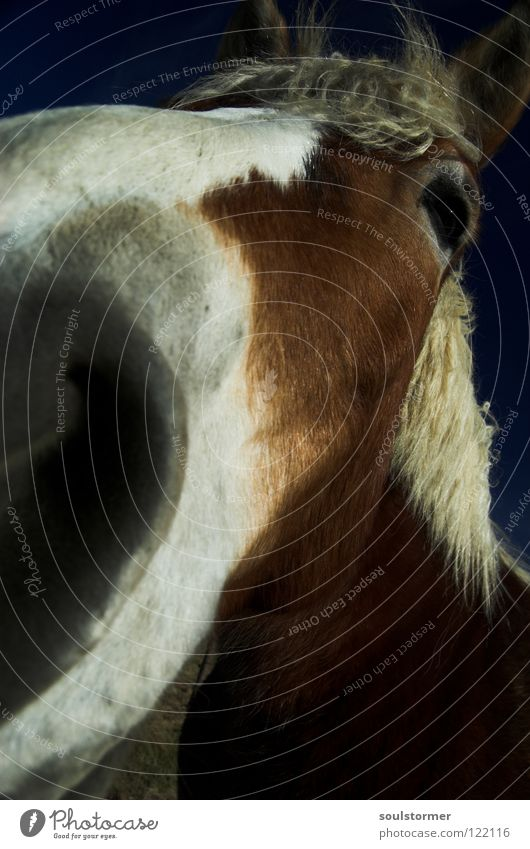 Look me in the eye! Horse Mane Wide angle Cowboy Horse's gait Pattern White Brown Gray Mammal Animal Close-up Ear Freedom long nose Distorted Blue Nose
