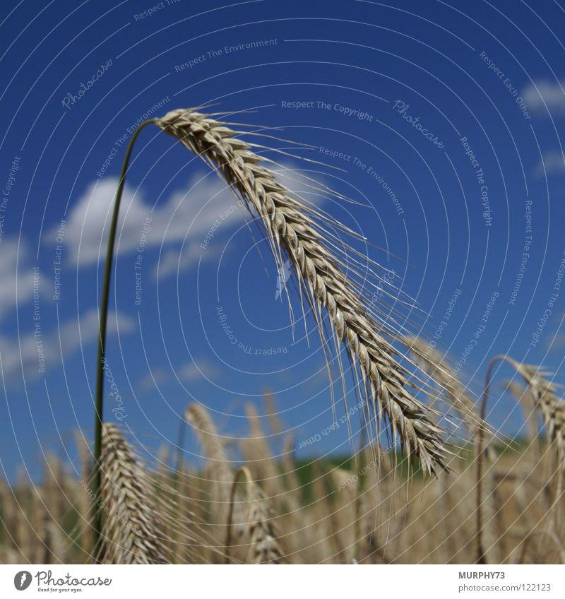 Sky Green Blue Summer Clouds Yellow Food Gold Grain Cornfield Feed Ear of corn Sky blue