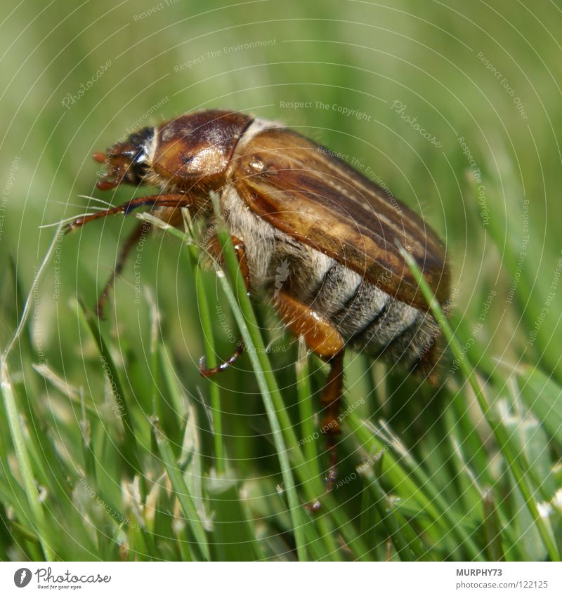 White Green Summer Grass Gray Lawn Insect Blade of grass Beetle June Light brown Dark brown