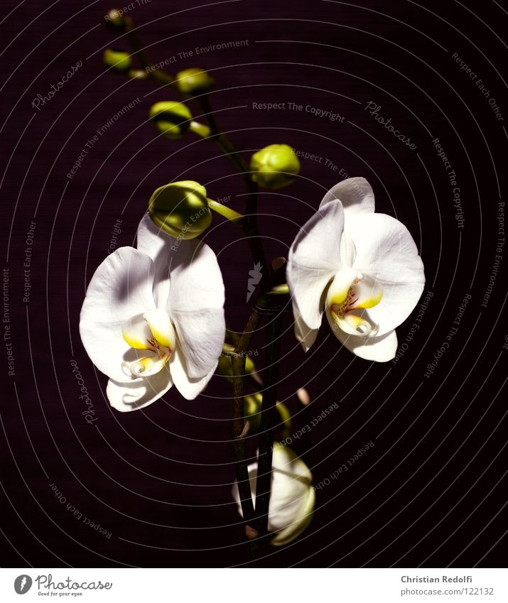 White Plant Black Yellow Blossom Bud Orchid Blossom leave Flower Sepal