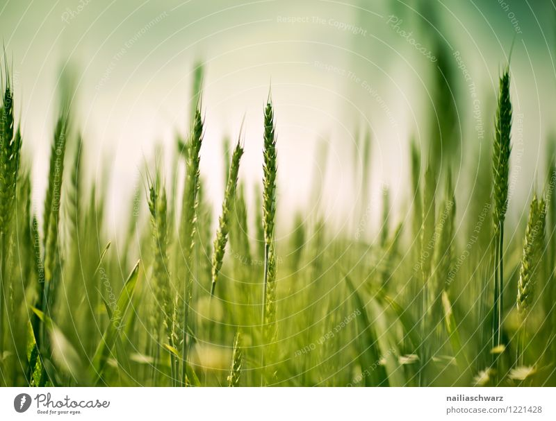 Wheat field in spring Summer Agriculture Forestry Nature Landscape Spring Plant Agricultural crop Field Growth Healthy Natural Beautiful Green Red Romance