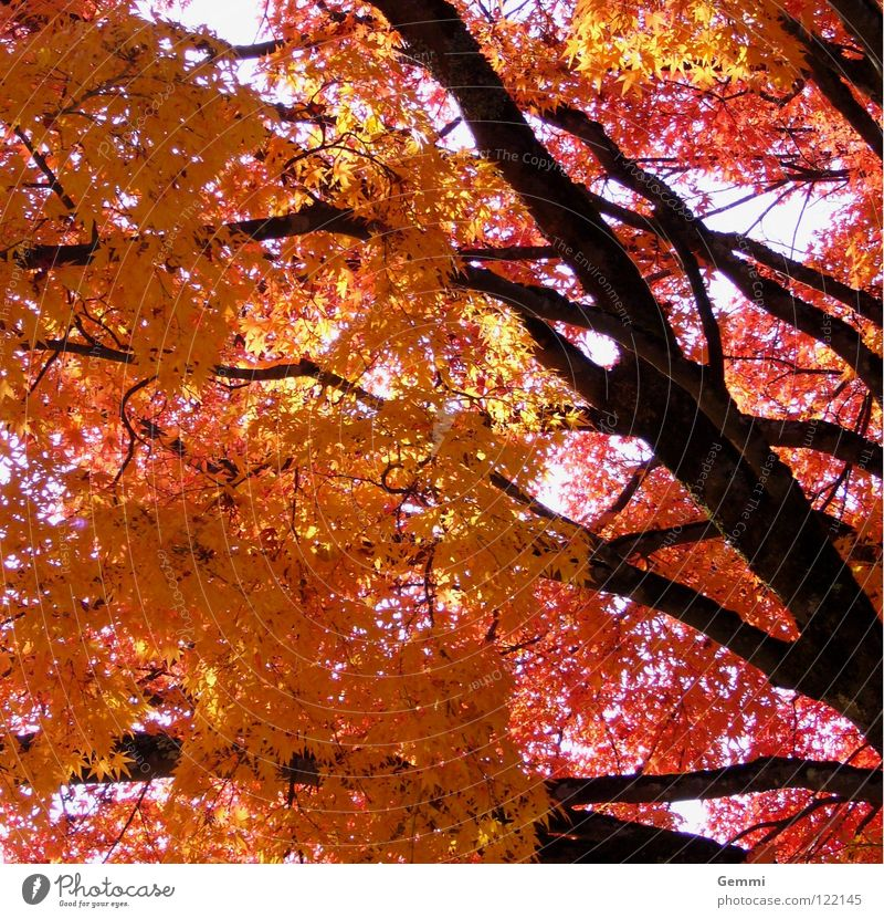 autumn lights Japan Tree Maple tree Autumn Red Yellow Leaf Autumn leaves momiji Tree trunk