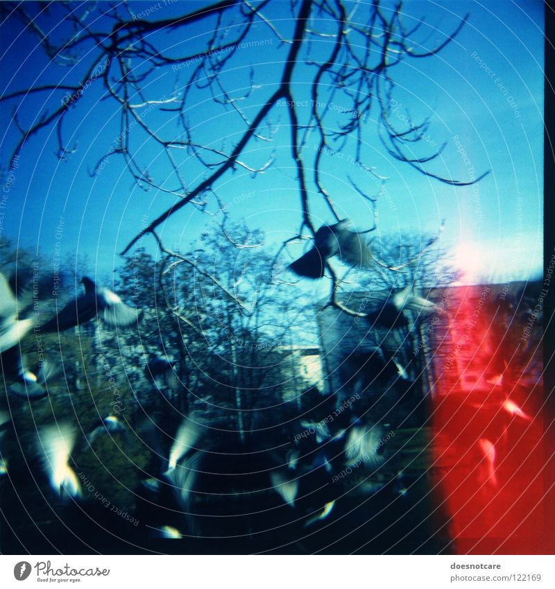 Columbiformes escape behavior. Pigeon Flying Escape Panic Fear Flock of birds Bird Animal Blue Lomography Leipzig Red Aviation Diana vignette lightleak