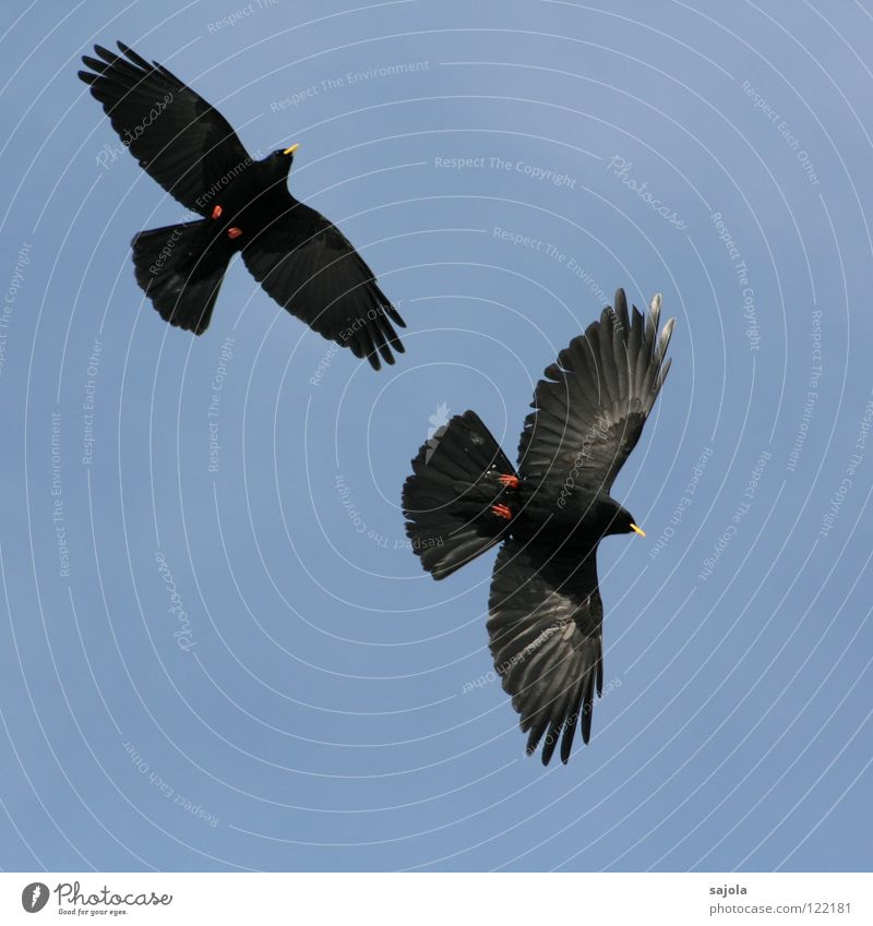 alpineohlen Freedom Animal Wild animal Bird Wing 2 Pair of animals Flying Together Blue Yellow Red Black Attachment Jackdaw Beak Feather Switzerland In pairs