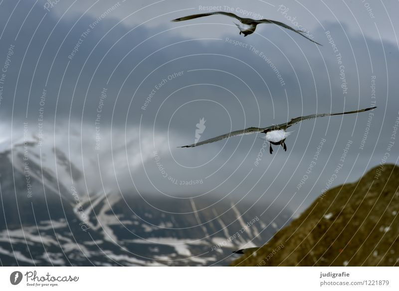 Iceland Environment Nature Landscape Animal Sky Clouds Mountain Coast Wild animal Bird Seagull 2 Flying Cold Natural Moody Life Vacation & Travel Colour photo