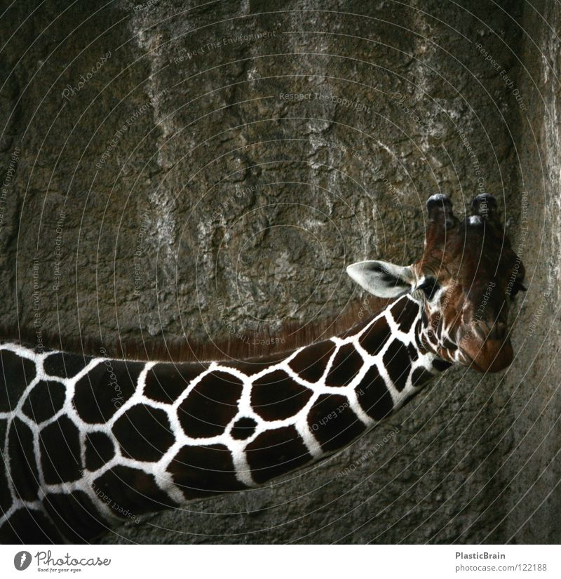 are you looking? Animal Zoo Cage Mammal Giraffe Neck Looking Contrast