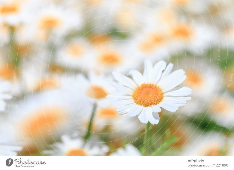 daisies Nature Plant Summer Flower Blossom Garden Meadow Yellow Green White Marguerite Flower meadow Medicinal plant Colour photo Exterior shot Deserted