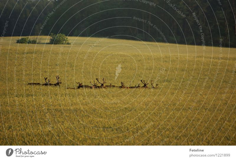 fallow deer Environment Nature Landscape Plant Animal Beautiful weather Agricultural crop Field Forest Wild animal Group of animals Pack Free Bright Natural