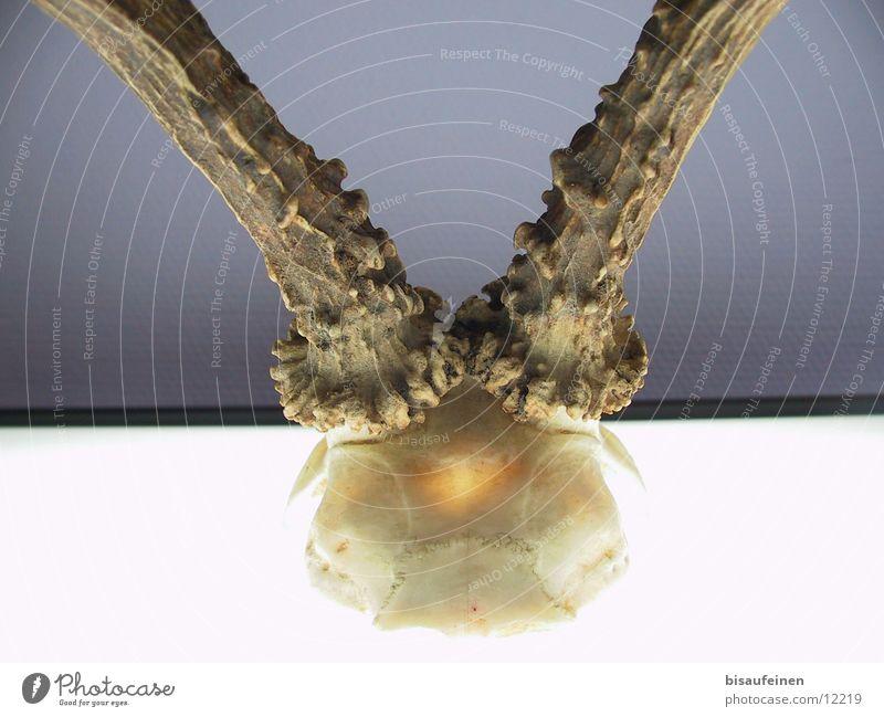 Animal Death Antlers Skeleton Death's head