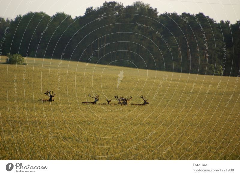 hiking day Environment Nature Landscape Plant Animal Sky Summer Beautiful weather Field Forest Free Bright Natural Wild Fallow deer Deer Cornfield Antlers