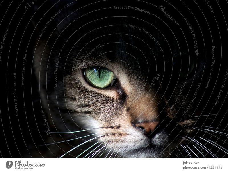Cat Animal Dark Eyes Meadow Garden Wild Field Wait Observe Adventure Nose Athletic Discover Pelt Catch