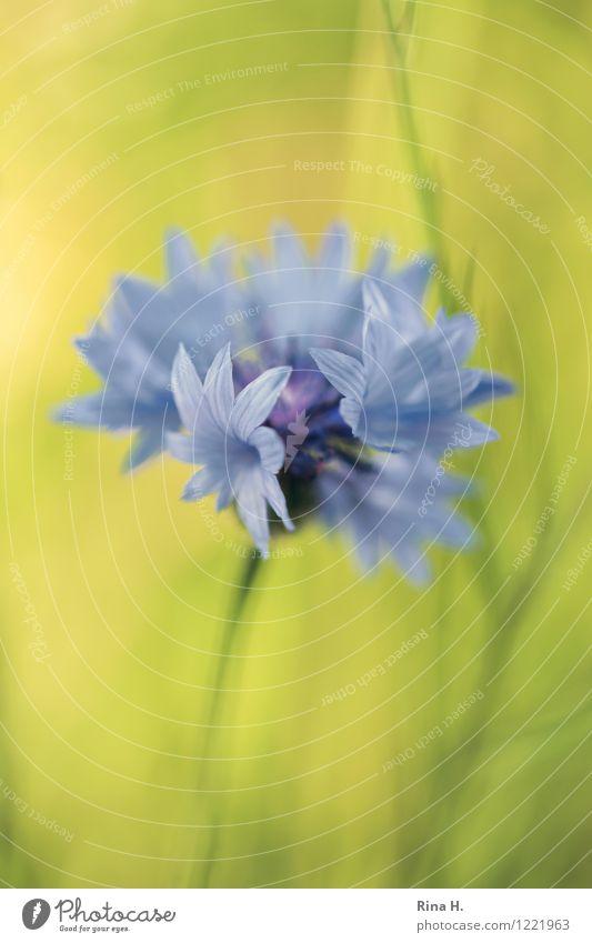 Summer Flower Natural Wild plant Meadow flower Cornflower