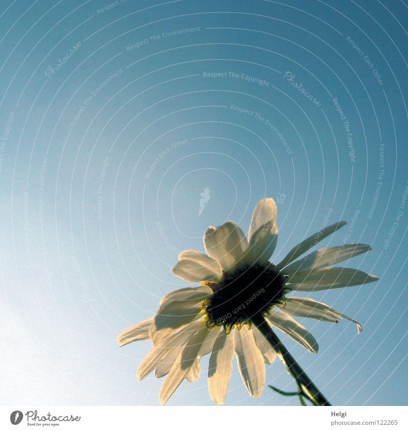 Beautiful Sky White Sun Flower Green Blue Plant Summer Blossom Together Tall Thin Point Long Stalk