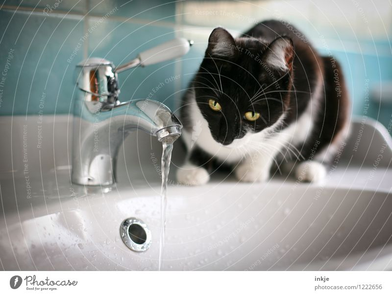 Cat Life - Hypnosis Lifestyle Living or residing Bathroom Pet Animal face 1 Baby animal Vanity Tap Sink Water Observe Crouch Looking Curiosity Cute Emotions