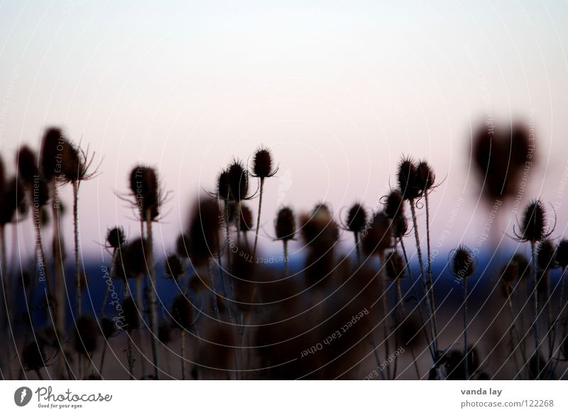 Cards (Dipsacus) Thistle Field Agriculture Sunset Blur Multiple Pierce Teasel Daisy Family Plant Nature Many Evening Point wolf comb Weber Card Beautiful