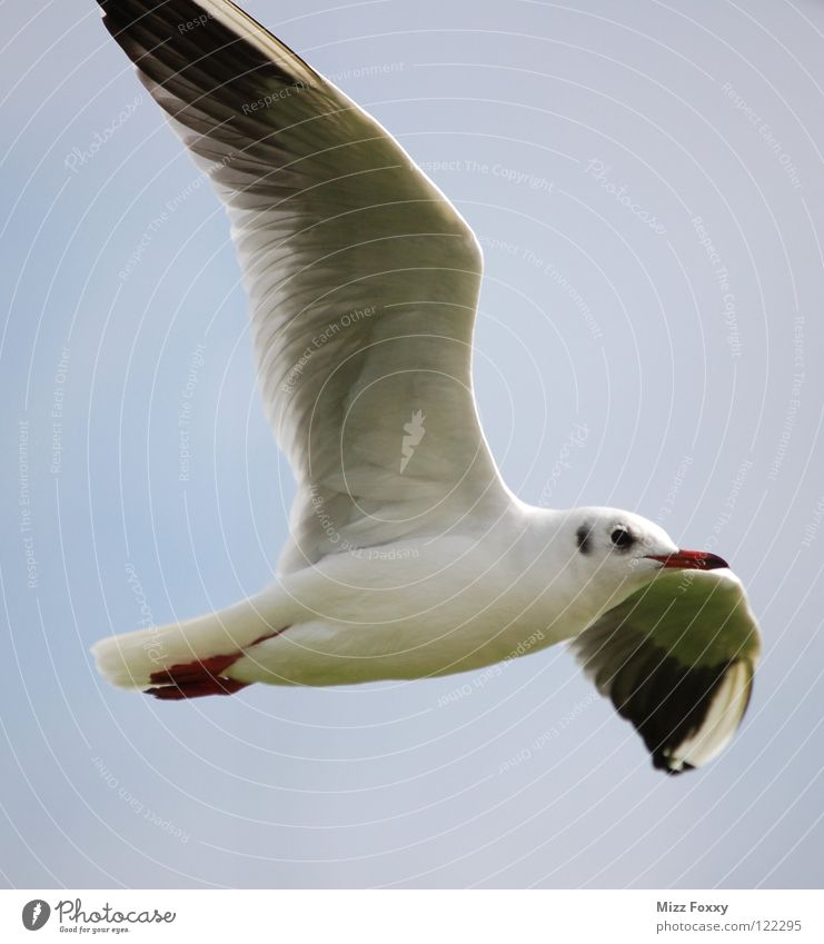 free flight Seagull Bird Gray Hover Sailing Beach Coast Ocean Aviation Free Freedom knows Sky Feather Wing