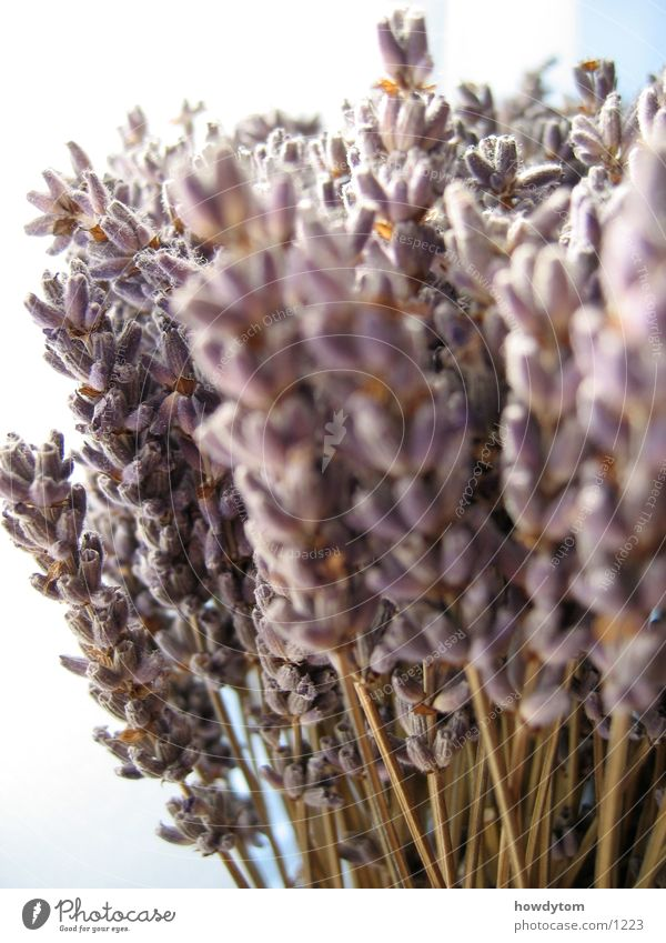 lavender Lavender White Blossom Dry Labiate Comforting Fragrance Medicinal plant Dried flower Macro (Extreme close-up)