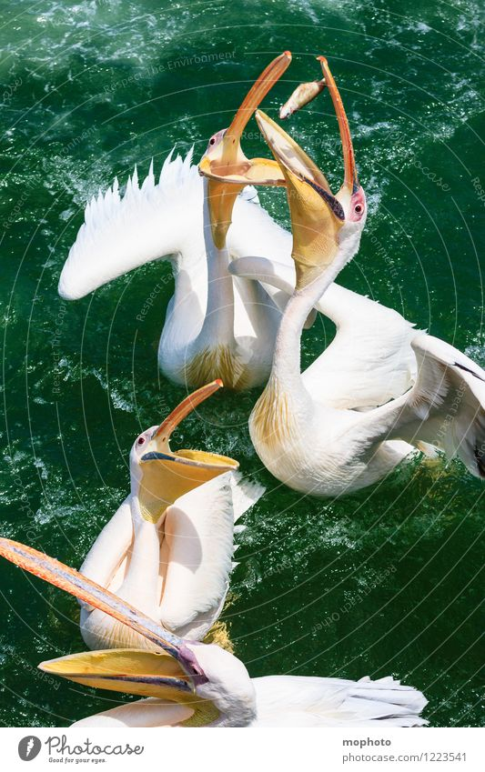 The Big Eat #1 Fish Eating Tourism Trip Ocean Environment Nature Animal Water Namibia Fishing village Bird Animal face Wing Pelican Beak 4 Group of animals